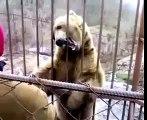 Video Oso tímido. Divertido oso dudó