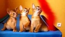 Gatitos abisinios Trio. gatitos divertidos