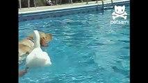 Canard chevauchant un chien. Funny dog avec un canard amusant flottant sur son dos dans la piscine