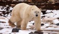 Black bears, grizzly bears and polar bears