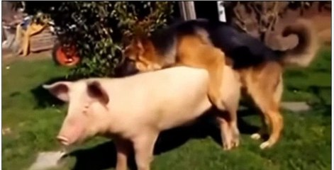 Funny Animal  Mating with Dog