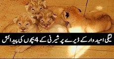 Lioness gives birth to 4 cubs in Multan