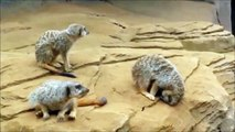 Un suricate endormi tombe de son rocher... Fail ridicule!