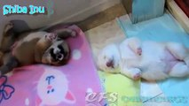 Shiba Inu Puppies. Fun Shiba Inu puppies