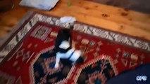 Os filhotes de cachorro que perseguem um ponteiro laser. filhotes de cachorro engraçados