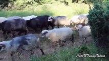 Marcher cloches. Moutons drôle avec des cloches autour du cou