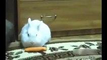 Hamster traîné lapin une carotte hamsters et lapins cool