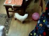 ボール猫のケア。おかしい猫はボールで遊びます