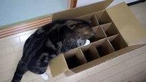 Caixa com defeito. Gato engraçado está tentando entrar no caixa