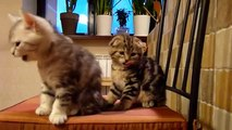 Cute Cats Moments. Cutest Scottish Fold Kittens ever