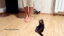 Cute Kitten wants to be a dancer . Funny Cats