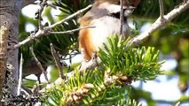 Boreal Chickadee - Bird of the Boreal Forest - Mini Documentary