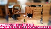 Mais pourquoi les chats ont-ils peur des concombres? Une réponse à découvrir dans la minute chat #55
