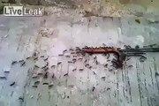 Des fourmis emportent une grosse saucisse... Bien organisées