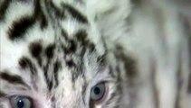Chine : cinq bébés tigres blancs montrés au public dans un zoo du Yunnan