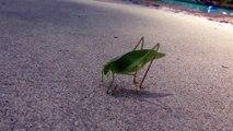 Cet insecte fait caca devant la caméra