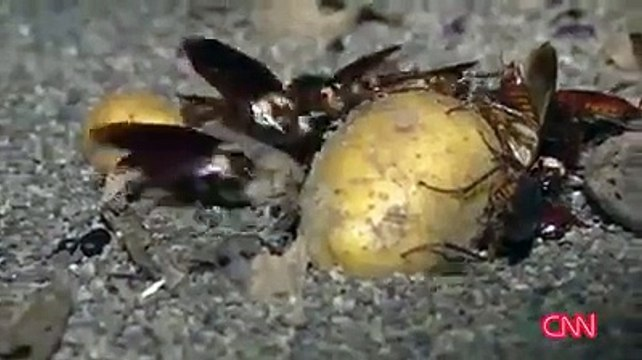 Cockroach farming in china