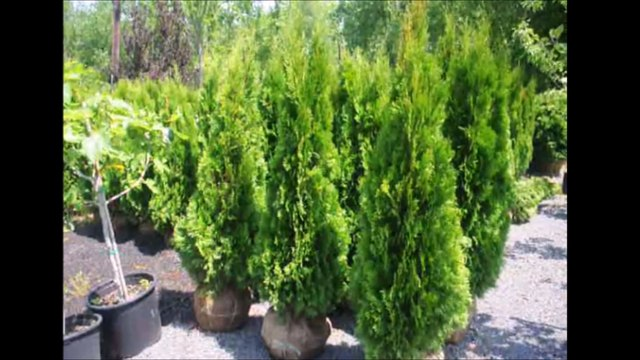 Arborvitae Emerald Green.... Quick Facts on Growing These Screening Trees