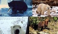 Black bears & grizzly bears near Campbell River, polar bears near Churchill