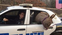 Watch a donkey hitch a ride in the back of a police cruiser