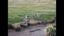 Pingüinos divertidos de la vida y los pingüinos. Diversión con los animales