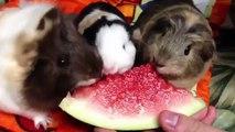 Животные-вегетарианцы. Смешные животные едят арбуз