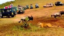 Les lions chassent mieux que les lionnes... La preuve!!!