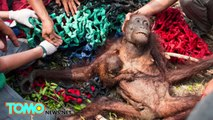 Orangutans attacked by humans: Mom and baby rescued after stoning and fire in Indonesia - TomoNews