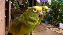 Perroquets verts hurlant, chantant et sifflant. Deux perroquet vert drôle