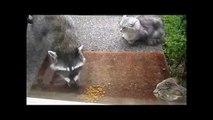 Comme les ratons laveurs voler de la nourriture Funny Animaux Thieves