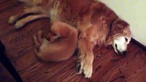 Funny Animals: Puppy Golden Retriever Comforts Older Dog During Nightmare