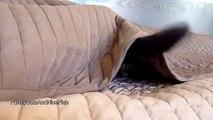 Funny Cats  Spy Cat named Rocky