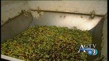 Olio d'oliva extravergine, quello tunisino invade l'Italia News Agtv