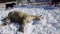 Horses play in the snow. Funny horse sport winter