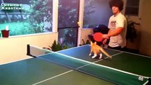 Cats playing ping pong. Cats and table tennis