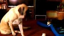 Gatos que duermen en el suelo para los perros. Diversión con los gatos y los perros