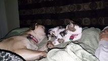 Un chien joue avec son pote le chat au réveil... Trop mignon!