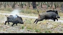 chasse sanglier - chasse au sanglier chasse sanglier - hunting wild boar