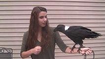 Un corbeau qui parle et imite les bruits