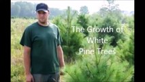 White pine tree growth rate