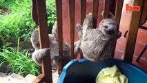 Buzz : Ces trois adorables bébés paresseux orphelins apprennent à grimper aux arbres  !