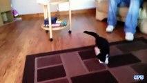 Os gatos têm medo de tapetes em movimento. Gatos engraçados tapetes vs.