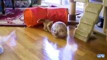 Gatos e bolas para hamsters. Engraçado Kotya jogando com bolas