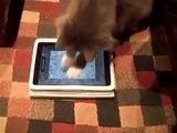 Chats ne peuvent pas rompre avec l'iPad. Chats drôles jouant sur l'iPad