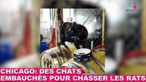 """""""Cats at Work"""" à Chicago: des chats embauchés pour chasser les rats! À découvrir dans la minute chat #61"""