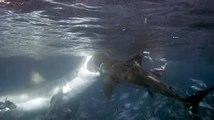 Les requins ne sont pas à l'abri d'une attaque de requin