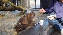 Il fait un tour de magie à un orang outan