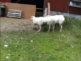 Conejo dio terror. Conejito divertido ovejas persecución