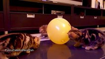 Kittens  ,  Balloon   and  .... BANG