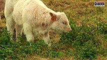Belle-Ile en mer - Les Vaches Belliloises - TVBI Belle-Ile en mer 24/7